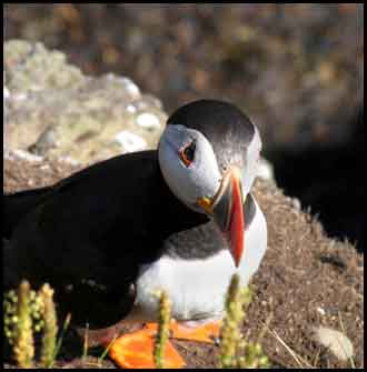 Images of Fife Scotland - puffin on the Isle of May